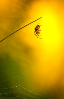 Spider in sunrise by Roger Carlsen